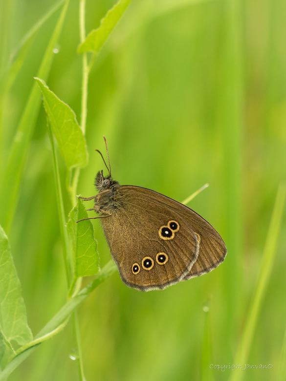 Golden Brown (Koevinkje) - Zo&#039;n gewoon dagvlindertje, beetje saai volgens sommige.<br /> <br /> Ik vind een Koevinkje in het juiste licht en ee