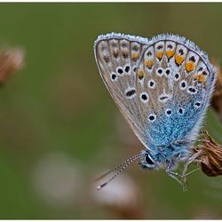 Icarusblauwtje.....