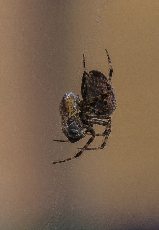 Spinnenmaal 1