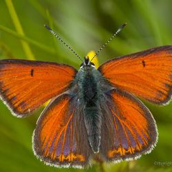 Rode vuurvlinder close-up