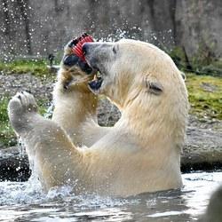 spelende ijsbeer