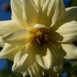 bij in bloem