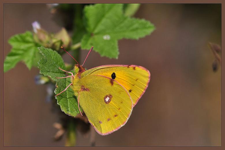 Oranje Luzernevlinder - Zag hem steeds voorbij vliegen,en gisteren was het dan zover,toen bleef deze knapperd even poseren,lief he...<br /> <br /> g
