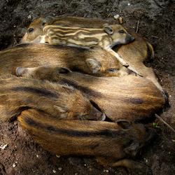 Wilde zwijntjes rusten knus samen...