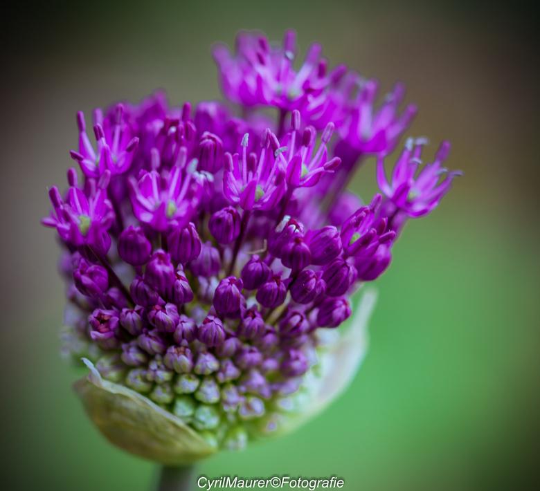 Purple Beauty - nog een uit de zoomdag met Jeanet