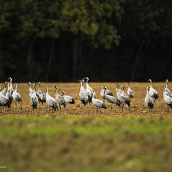 Foeragerende Kraanvogels.