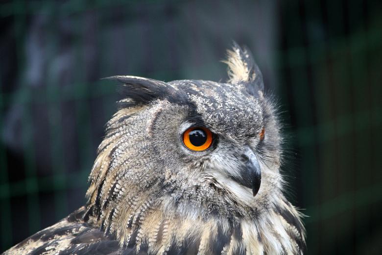 Uil - Genomen bij een roofvogel-demonstratie bij Eureka op Texel.