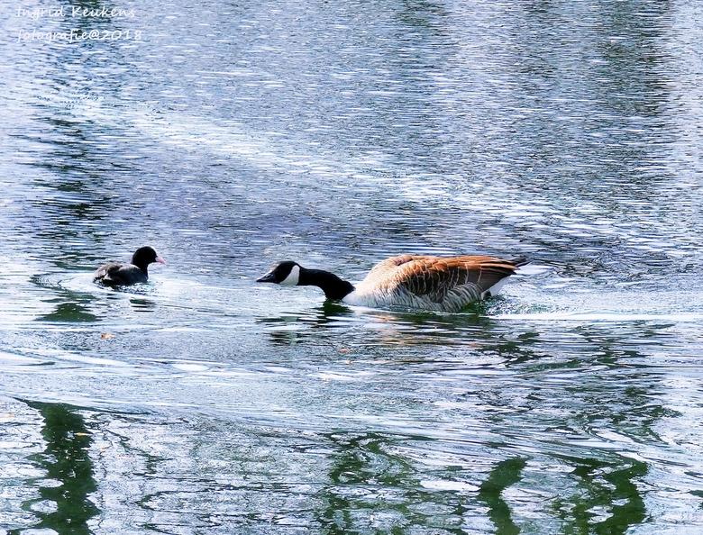 P1020095 - een gans in aktie......het lijkt alsof hij de meerkoet wil aanvallen.....maar de gans zwom netjes voorbij. grapjas!