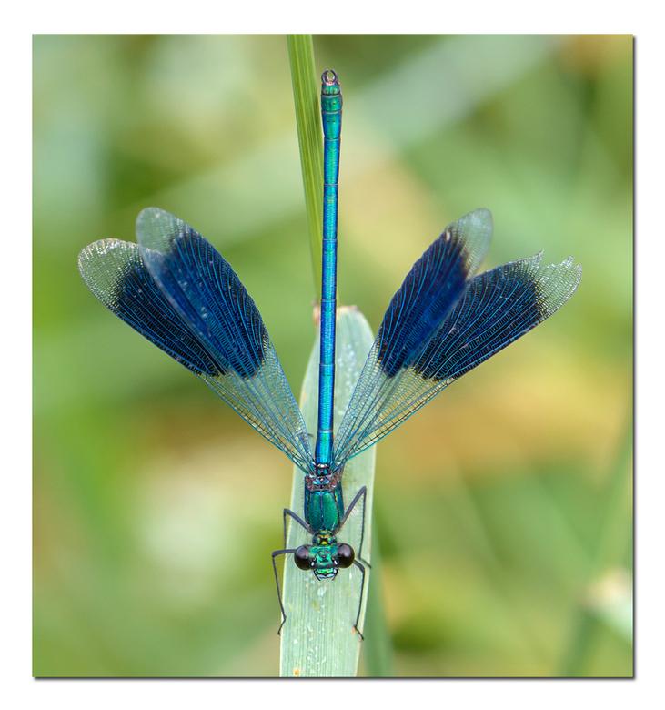 Blauwe pijl