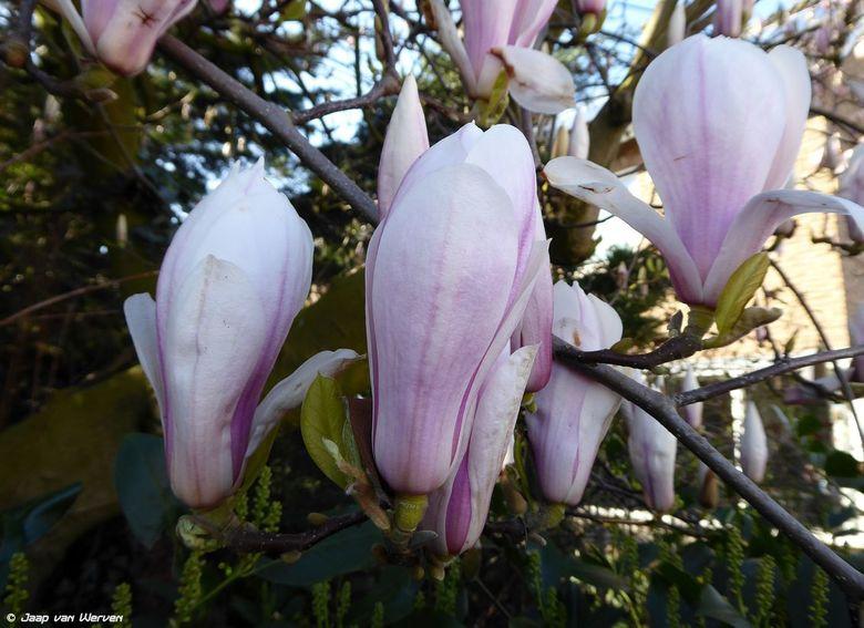 Magnolia - Nog niet helmaal uit gebloeid deze magolia