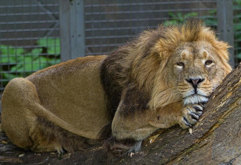 hier lig ik dan (1) - dat doen leeuwen dus graag..... luieren !