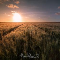 Warm zonlicht over een tarweveld