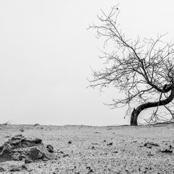 Eenzame boom Kootwijkerzand