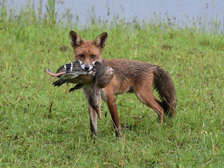 Jonge vos en eend - Jonge vos met eend