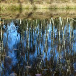 Berken reflectie