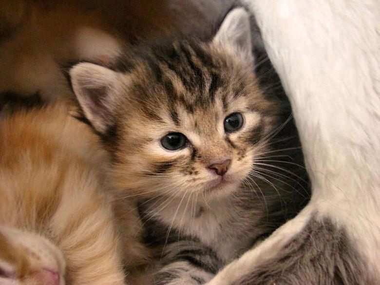 Betere noorse boskat kitten, 4 weken oud | Dieren foto van rinige | Zoom.nl ZS-14