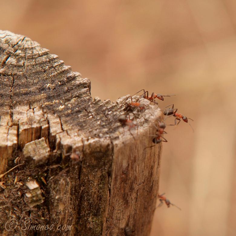 Bosmieren - Bij gebrek aan echte blauwe kikkers op zoek gegaan naar een ander onderwerp om te fotograferen .... en gevonden in een legertje bosmieren.