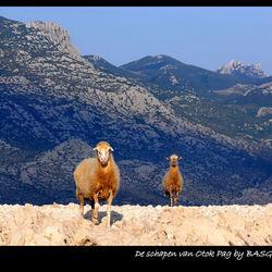 De schapen van Otok Pag