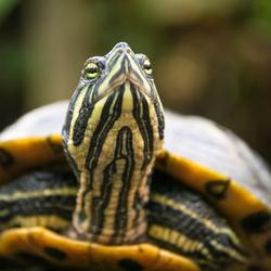 Sierschildpad
