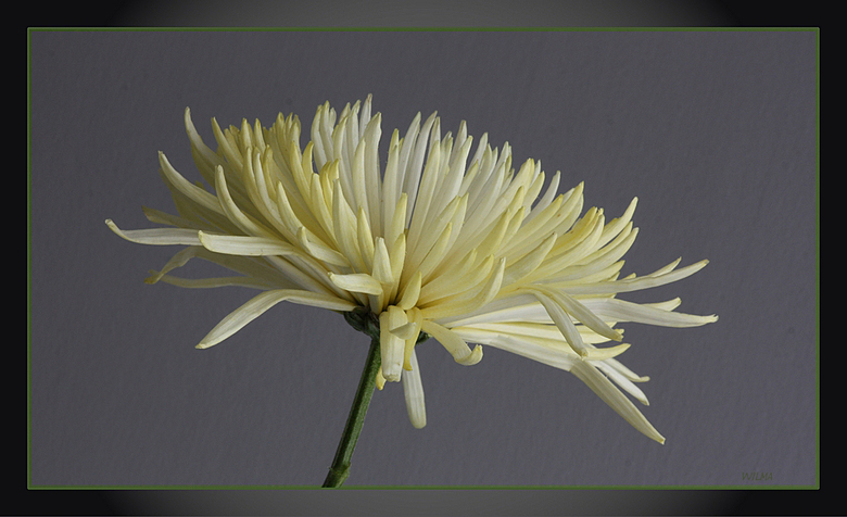Witte chrysant - Nog eentje van de witte chrysant...andere achtergrond en ander kader... <br /> Ben benieuwd naar jullie reactie,s...<br /> <br />