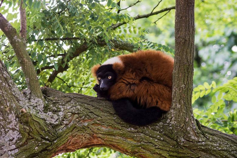 Rode Vari - Dit is een rode Vari die ik genomen heb op het lemureneiland in de Artis.<br /> Je kan ze daar mooi fotograveren.<br /> Ze zitten niet i