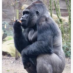 Het blijft na-apen