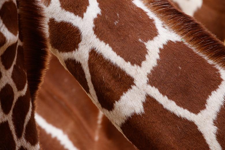 Giraffe Art -