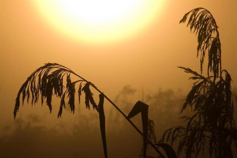 rietpluim tegenlicht - Deze mooie rietpluim liet zich mooi verlichten door de net opgekomen zon.<br /> Deze hoort bij de reeks &quot;ochtendgloren&qu