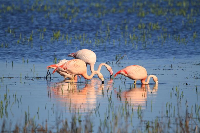 Flamingo's - Flamingo's opzoek naar voedsel
