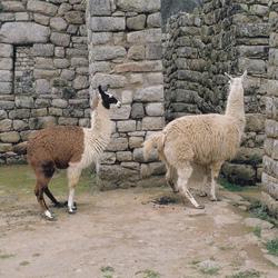 Openbaar toilet alpaca's in Peru