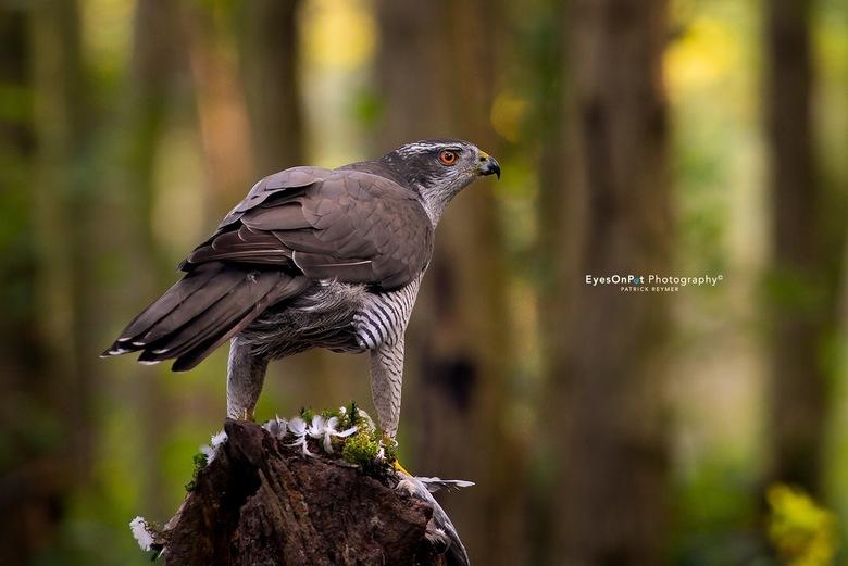 H A V I K - De havik is een krachtige roofvogel, gespecialiseerd in het overrompelen van vogels. Het zijn honkvaste vogels. Ze maken een groot nest va