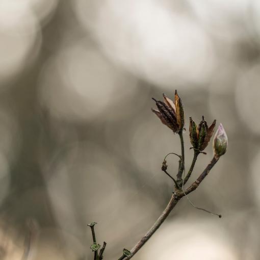 In de knop - Ook deze bloemknop gefotografeerd in het arboretum in Kalmthout vandaag. Op zoek naar mooie composities en bokeh was mijn doel vandaag.