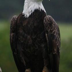 Roofvogel van dierenpark de beekse bergen