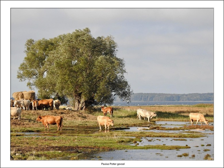 Paulus Potter gevoel - Terug van weggeweest.<br /> <br /> Bij het zien van deze kudde koeien aan de Boddenkust van Rugen moest ik denken aan de schi