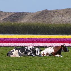 Pipo, koeien...!!