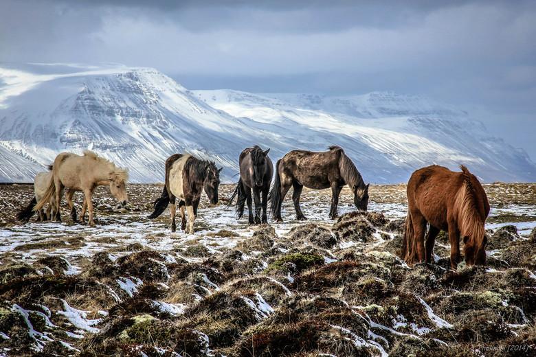 Icelandic horses Skagafjördur