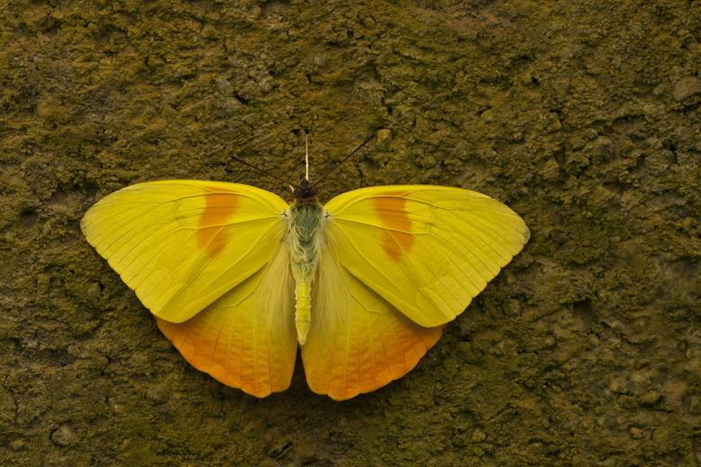 Phoebis philea - Deze komt uit de vlindertuin in Luttelgeest.