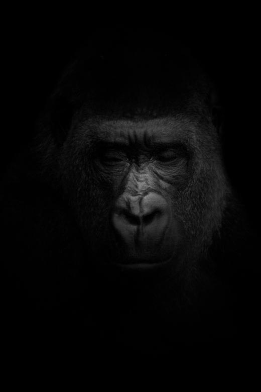 Gorilla - mijn eerste poging om een blackfoto te maken.