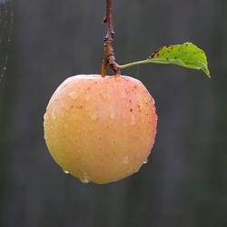 Appel met Spinnenweb