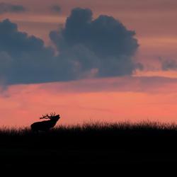 burlend hert bij zonsondergang