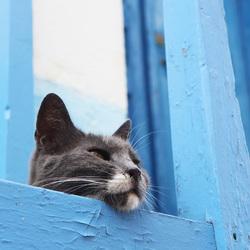 Kattenkop