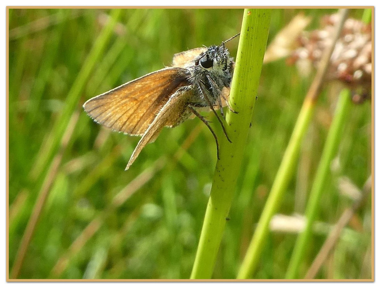 klein dikkopje -  vandaag een fietstocht gemaakt   in Taarlo    het viel wat tegen wat vlinders betreft  maar deze wilde wel even blijven zitten   fij