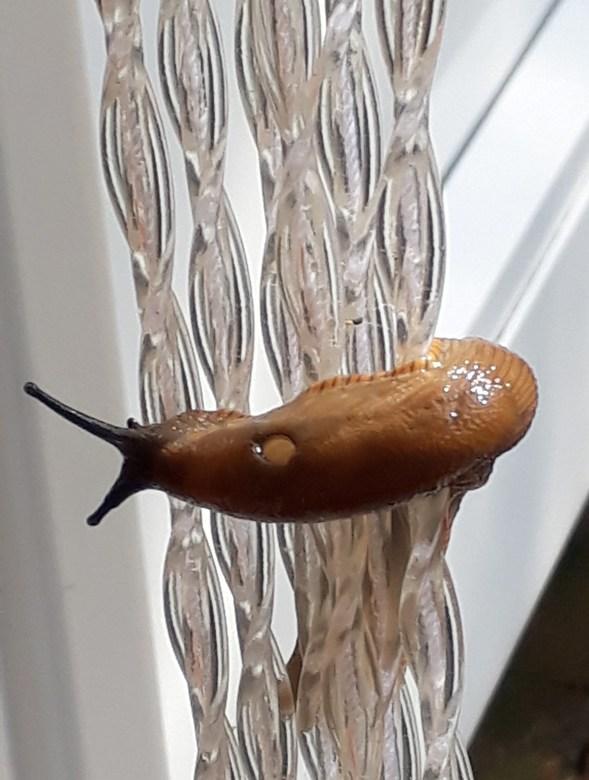 20190712_165953 - Deze slak draaide zichzelf rond in een deel van een vliegenhor en kreeg langzaam maar  zeker de hoogte tot hij<br /> door mensenhan