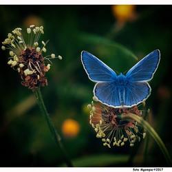 Mooi blauwtje
