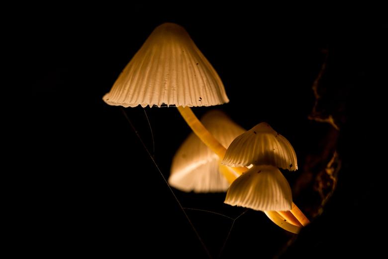 mycena's - een groepje mycena's in het bos